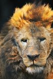 Lion. The lion in a cage and watching  you in the zoo Stock Photography