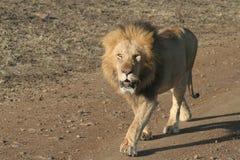 Lion. Walking on dirt road in Masai Mara National Reserve, Kenya royalty free stock images