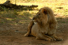 Lion. Lying and observing in savanna, Samburu national reserve, Kenya, Africa royalty free stock image
