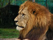 lion royaltyfria foton