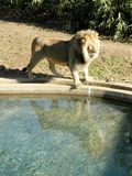 Lion. African Lion walking in washington zoological garden stock images