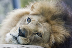 Lion. Close up face of lion resting on rock stock image