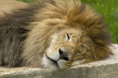 Free Lion Royalty Free Stock Photography - 56544777