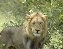 Lion. A male African lion in the wild, photographed in South Africa Stock Photography