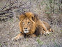 lion Royaltyfria Bilder