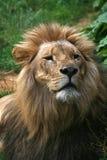 Lion - 7 Royalty Free Stock Photo
