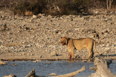 Lion. At the waterhole in the Etosha National Park, Namibia royalty free stock photography