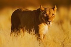 Lion. Female; panthera leo; South Africa; Kalahari dessert Royalty Free Stock Photo