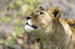 Lion. A great Lion looking to the sky Royalty Free Stock Photos