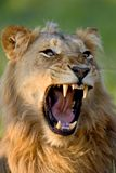 Lion. Young male; panthera leo; South Africa Royalty Free Stock Images