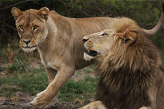 Free Lion Royalty Free Stock Images - 73941669