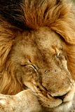 Lion. Big male Lion fast a sleep stock image