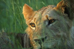 Lion. Young male lion watching the grass sway stock image