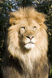 Lion. Male lion captured close-up stock photo