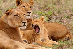 Lion. Pride careing for a young cub royalty free stock images