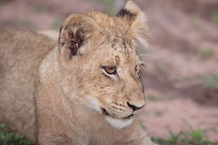 Lion. Cub resting on open ground stock images