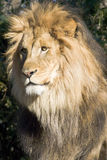 Lion. Male lion captured close-up royalty free stock image