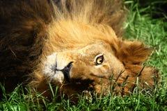 Free Lion Stock Photo - 7617290