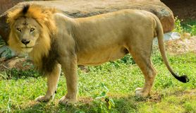 lion Arkivbild