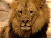 Lion. Face Royalty Free Stock Photography