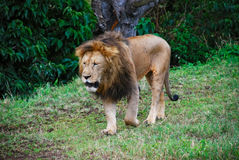The lion Stock Photography