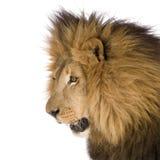 Lion (8 years) - Panthera leo Royalty Free Stock Photography