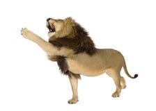 Lion (8 years) - Panthera leo Stock Images