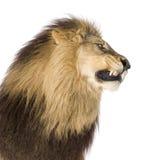 Lion (8 years) - Panthera leo Stock Photography