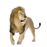 Lion (8 years) - Panthera leo Royalty Free Stock Image
