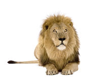 Lion (8 years) - Panthera leo Royalty Free Stock Photos