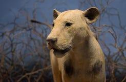 Lion Photographie stock