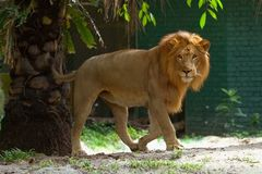 Lion. The lion is walking toward me Stock Images