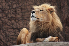 Lion. Sitting on a boulder at zoo Royalty Free Stock Photos