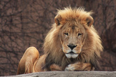 Lion. Sitting on a boulder at zoo Stock Photography
