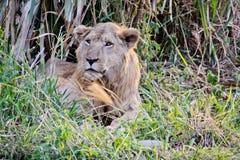 lion royaltyfri bild