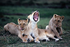 Lion. Yawning Royalty Free Stock Images