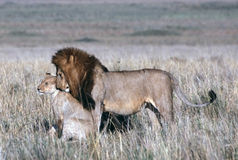 Lion. Father and Child stock image
