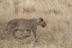 lion Arkivfoton