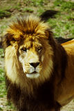 Lion. Beautiful lion stock images