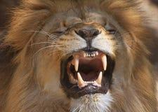 Free Lion Royalty Free Stock Image - 953386