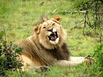 Lion. An adult male lion in the savanna of trees in a sunny day Stock Image