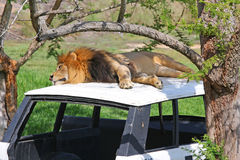 Lion on an abandoned vehicle Royalty Free Stock Image