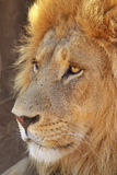 Lion adult male leo panthera. Adult male lion close-up, showing off mane and yellow eyes stock image