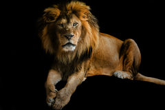 Lion. Adult male wild cat looking directly into the camera, isolated over black background royalty free stock photos