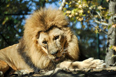 Lion. Adult lion relaxing in the forest Stock Photography