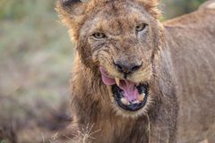 Lion adulte sauvage semblant faune agressive et africaine photo stock