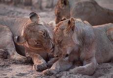 Lion affection. Lionsdemonstrate affection within the pride Stock Photos