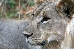 Lion - Africa Royalty Free Stock Photos