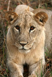 Lion - Africa Royalty Free Stock Photography