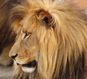 Lion Africa. A male lion with long mane and tongue sticking out, photo taken in South Africa Royalty Free Stock Photography